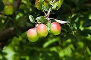 Apples on tree, fruit, Talamanca Mountain, south of San Jose, Costa rica.