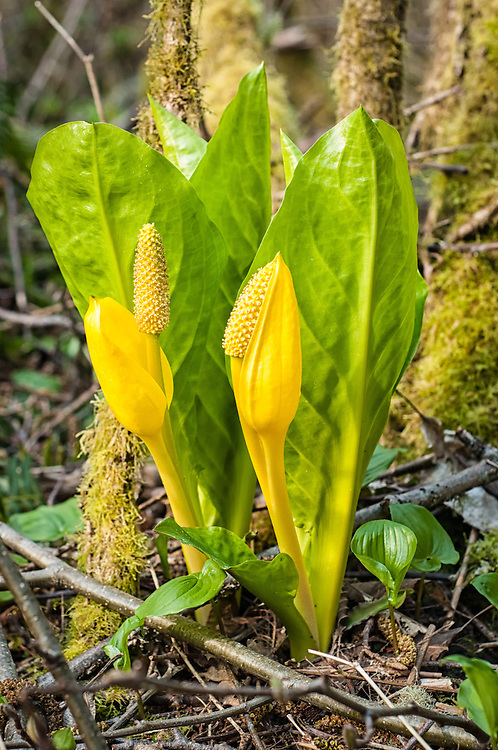 One of the more interesting plants found growing in the Pacific Northwest is the yellow skunk cabbage - also know as the western skunk cabbage or swamp lantern. These stinky water-loving plant blooms in the late spring and early summer in wet bogs or swamps and actually produces enough heat to melt snow away from it. Bears are known to eat the roots after their winter slumber to induce a laxative-like effect. While it is potentially toxic to humans, the native peoples of the Pacific Northwest used the large leaves (largest in the PNW) for lining the insides of baskets and for wrapping salmon before cooking them.
