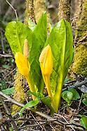 Araceae (Arum Family)