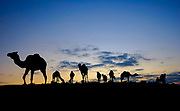 Israel, Negev desert, A silhouette of a herd of camels at sunset