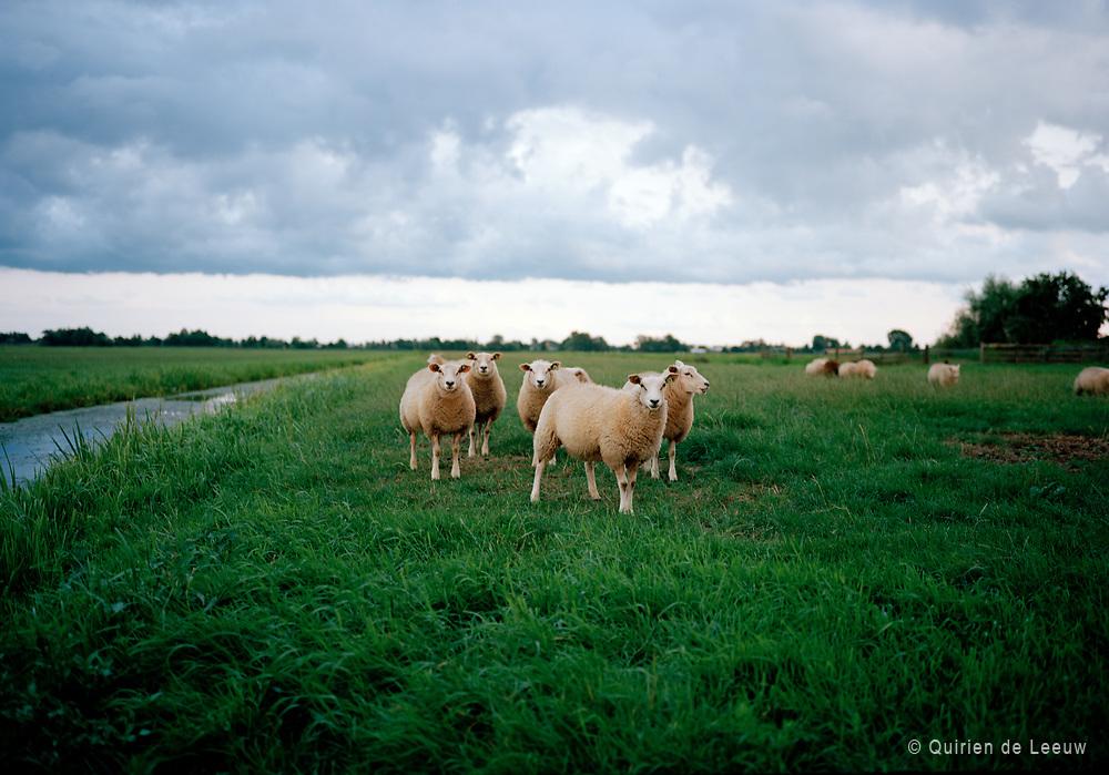 Schapen in Hollands landschap