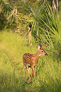 A white-tailed deer fawn walks through the woods at Botany Bay Plantation July 3, 2016 in Edisto Island, South Carolina.
