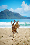 Two Javan rusa on the beach of Komodo Island, Indonesia.<br /> <br /> The Javan rusa or Sunda sambar (Rusa timorensis) is a deer native to the islands of Java, Bali and Timor (shared with East Timor) in Indonesia.