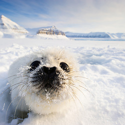 Ringes Seal pup still showing it pure white fur. Svalbard
