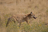 First of August and a Coyote wander through the dry grasses of the west desert in Utah.