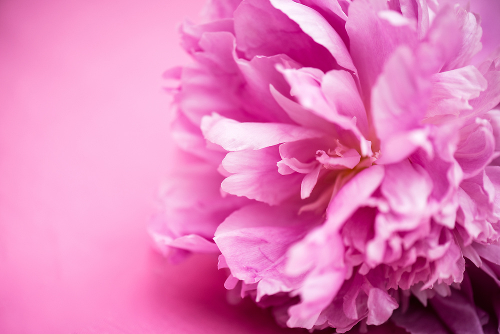 Close up of pink peony on pink background.