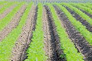 Organic carrot cultivation.Luomuporkkanaa kauniissa riveissä. Haraus ja kitkentä on tehty. Alkukesän kuivuus on haitannut kasvustoa