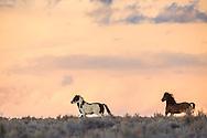 Running mustangs, sunset, Wyoming Desert, Farson Wyoming