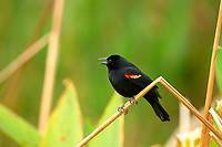 Red winged Blackbird Agelaius phoeniceus Wakodahatchee Wetlands Delray Beach Florida USA