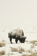Bull Bison (bison bison) winter  in Yellowstone National Park, Lamar Valley