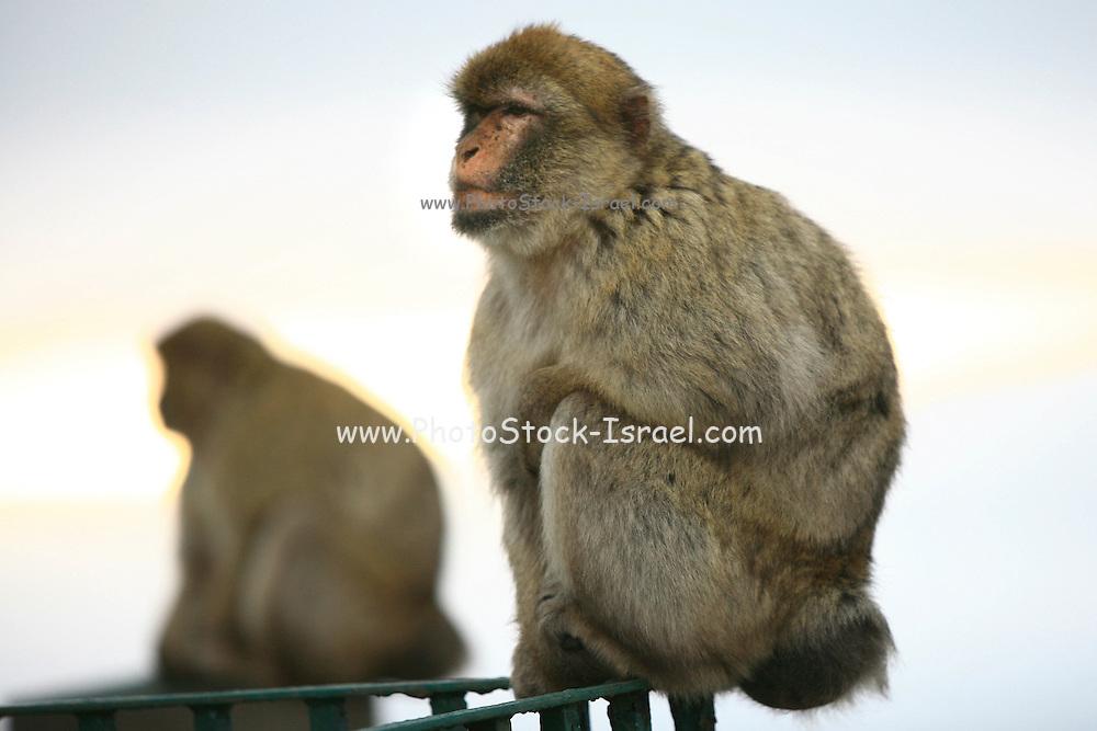 Gibraltar, Barbary Macaque (Macaca sylvanus)