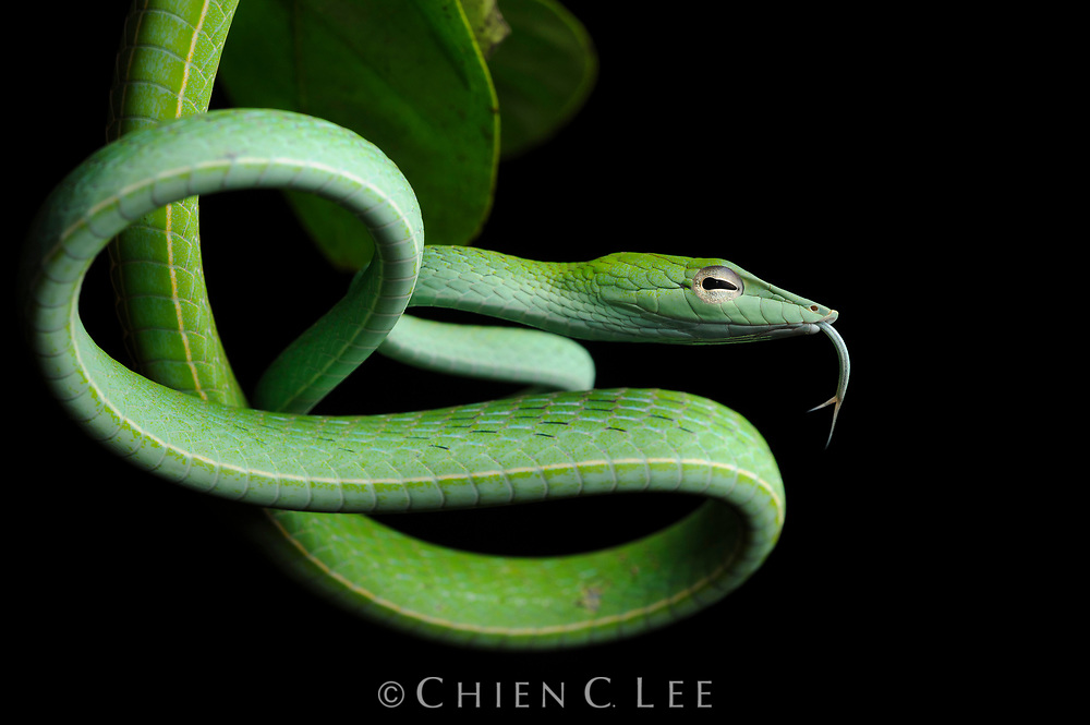 Perhaps one of the most elegant reptiles of the Borneo rainforest is the Asian Vine Snake (Ahaetulla prasina). We found this specimen perched on an overhanging branch during a night hike in Sabah's Danum Valley Conservation Area. Skilled climbers with superb binocular vision, they are adept at hunting arboreal lizards.