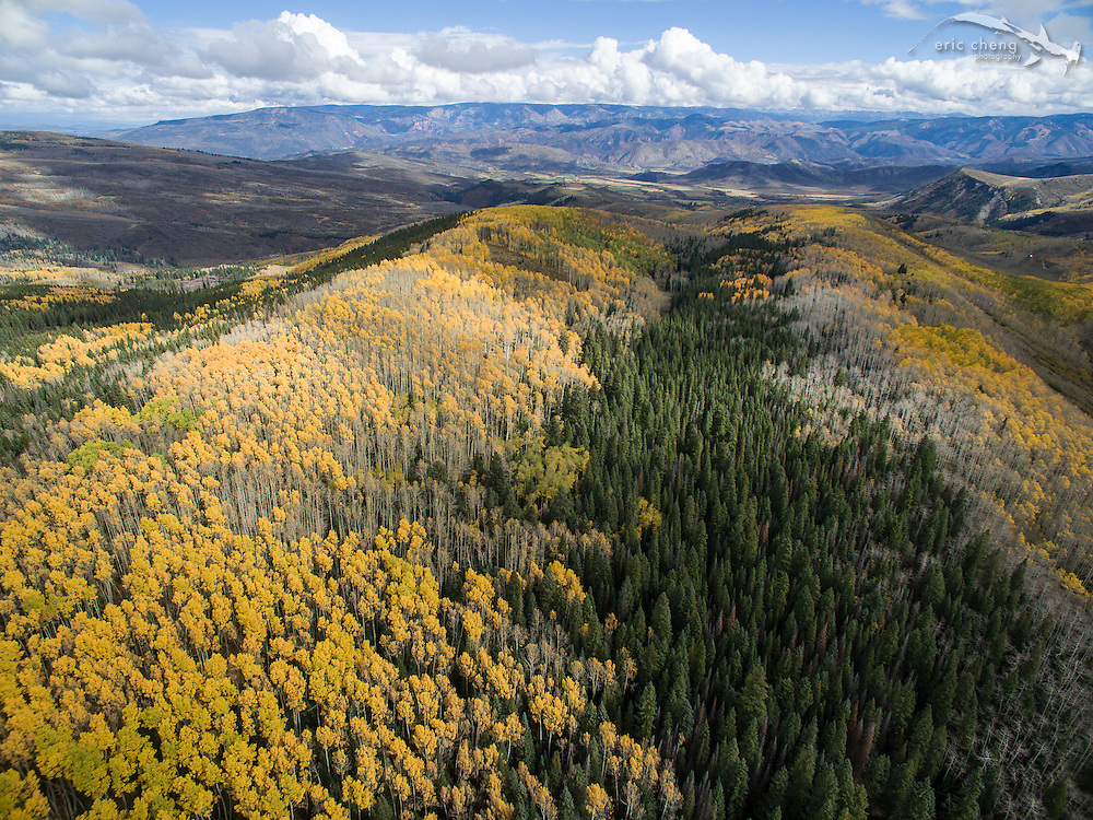 Low-altitude aerial view of fall aspen and pine trees in Aspen, Colorado.
