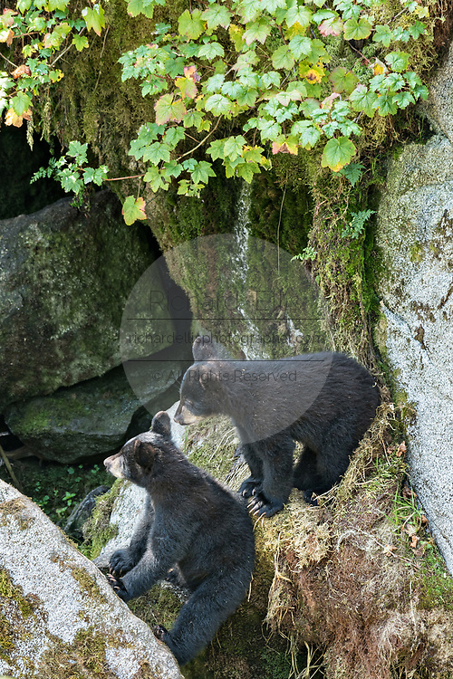 Two American black bear cubs wait for their mother behind rock outcroppings in the temperate rain forest at Anan Creek in the Tongass National Forest, Alaska. Anan Creek is one of the most prolific salmon runs in Alaska and dozens of black and brown bears gather yearly to feast on the spawning salmon.