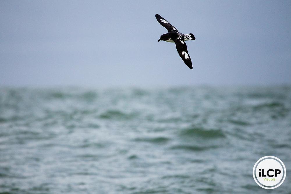 Cape Petrel (Daption capense) gliding over ocean, Kaikoura, South Island, New Zealand