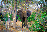 Mother elephant and calf in woodland in  Moremi National Park, Botswana
