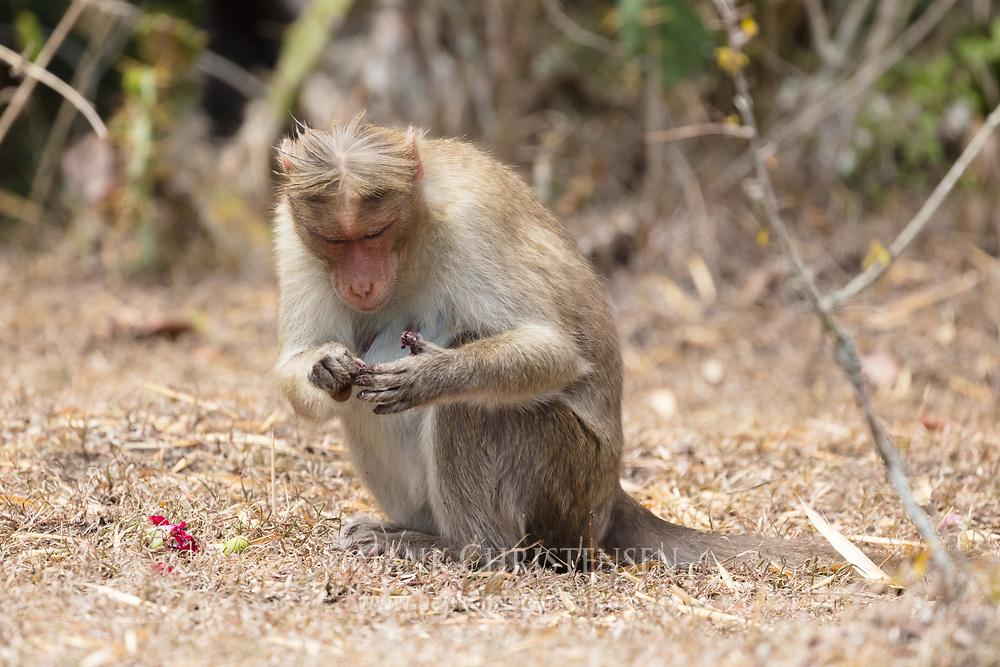 A rhesus macaque eats a fruit, Mudumalai National Park, India.