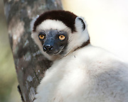 Verreaux's sifaka, Propithecus verreauxi, Zombitse Park, Madagascar, Vulnerable on the IUCN Red List, and listed on Appendix I of CITES