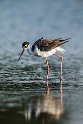 "Black-necked stilt, ""Secret Bird Pond"" near Trinity River Audubon Center, Great Trinity Forest, Dallas, Texas, USA"