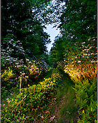 mountain laurel path at dusk, woodland scene
