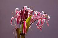 Flower in San Felipe, Mayabeque, Cuba.