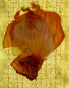 Onion skin abstraction against dotted fabric background