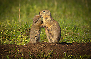A belding ground squirrel pup nuzzles up to his mother on The Nature Conservancy's Zumwalt Prairie Preserve. The pups first emerged from their burrow the previous week. Called locally &quot;red diggers&quot;, they provide a food source for one of tha largest concentrations of breeding raptors in North America. <br /> <br /> A belding ground squirrel pup nuzzles up to his mother on The Nature Conservancy's Zumwalt Prairie Preserve. The pups first emerged from their burrow the previous week. Called locally &quot;red diggers&quot;, they provide a food source for one of tha largest concentrations of breeding raptors in North America.