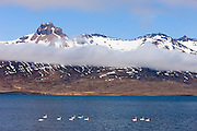 Ten whooper swans (Cygnus cygnus) swim on Berufjörður, a narrow Atlantic Ocean inlet in southeastern Iceland. Above the clouds, the prominent pyramid-shaped mountain named Búlandstindur stands 1069 meters (3507 feet) above sea level.