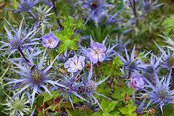 Eryngium bourgatii Blue Form with Geranium wallichianum 'Buxton's Variety' syn. 'G. 'Buxton's Blue'. Cranesbill
