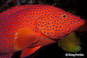 coral grouper, jewel grouper, coral trout, or coral cod, Cephalopholis miniata, Similan Islands, Thailand ( Indian Ocean )