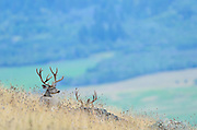 A pair of mule deer bucks above a Montana valley, Lake County, Montana