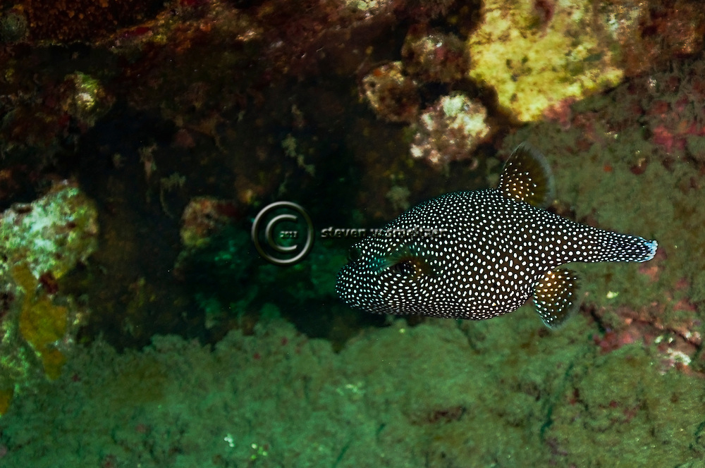 Spotted Puffer, Arothron meleagris, (Anonymous, 1798), o'opu hue, Molokai Hawaii