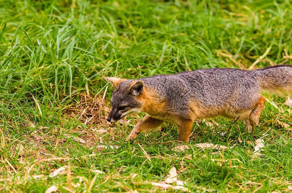 Island Fox at Scorpion Ranch, Santa Cruz Island, Channel Islands National Park, California USA