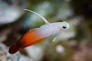 Nemateleotris magnifica (Fire Dartfish)