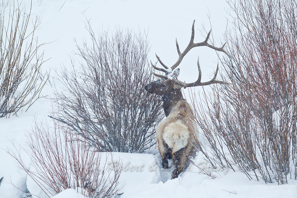 Bull elk number 10 on winter range in Yellowstone National Park
