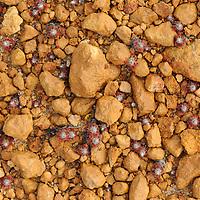 Pygmy Sundews (Drosera eneabba), tiny insectivorous plants growing in rocky lateritic soil. Western Australia.