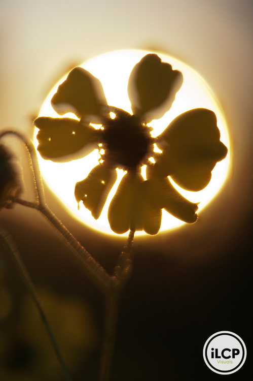 Backlit desert flower.