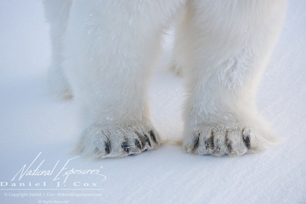 Polar Bear feet, Cape Churchill, Hudson Bay, Manitoba.