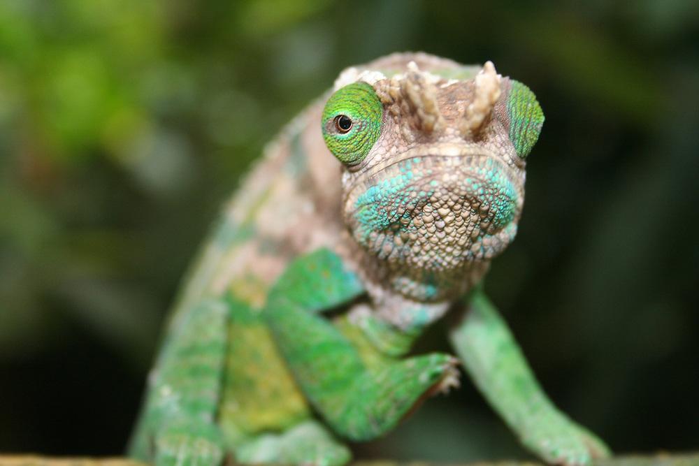 Panther chameleon, Chamaeleo pardalis, Madagasacr