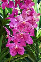 Singapour, le jardin botanique de Singapour, patrimoine mondial de l'Unesco, jardin national des orchidées // Singapore, the botanic garden, Unesco World Heritage, National Orchid Garden