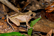 Madagascar bright-eyed Frog (Boophis madagascariensis) from Ranomafana NP, eastern Madagascar.