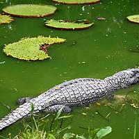 Black Caiman (Melanossuchus Niger) rests amongst Victoria Regia aquatic plants