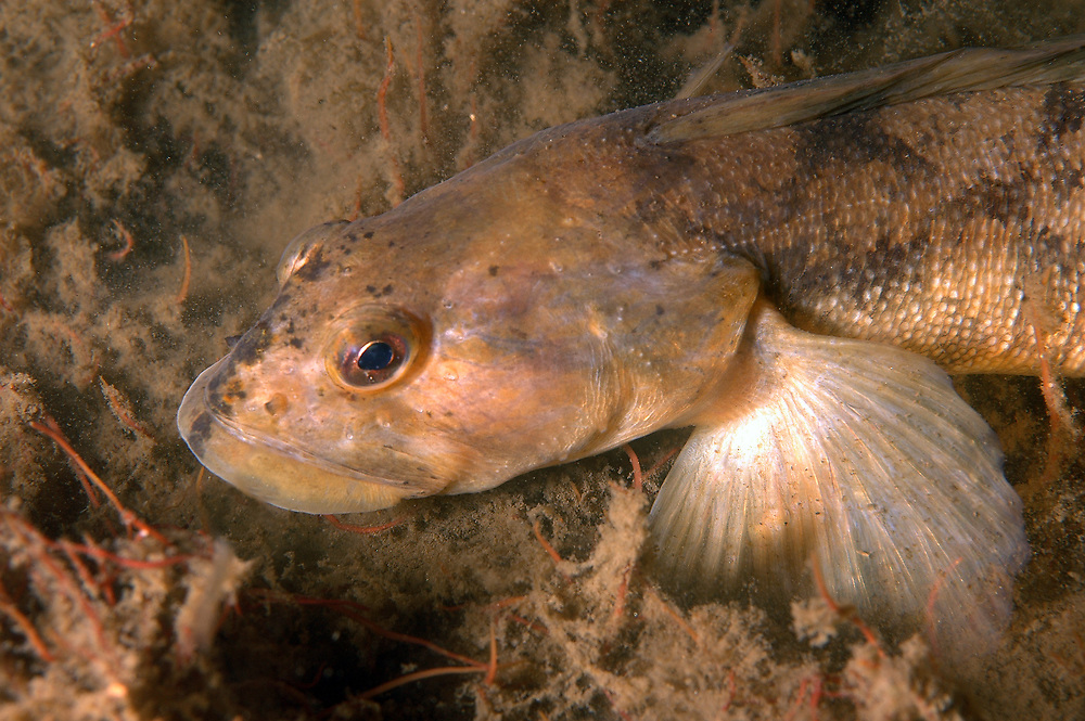 Eelpout (Zoarces viviparus). Location : Stavanger, Norway