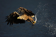 White-tailed Sea Eagles, Norway