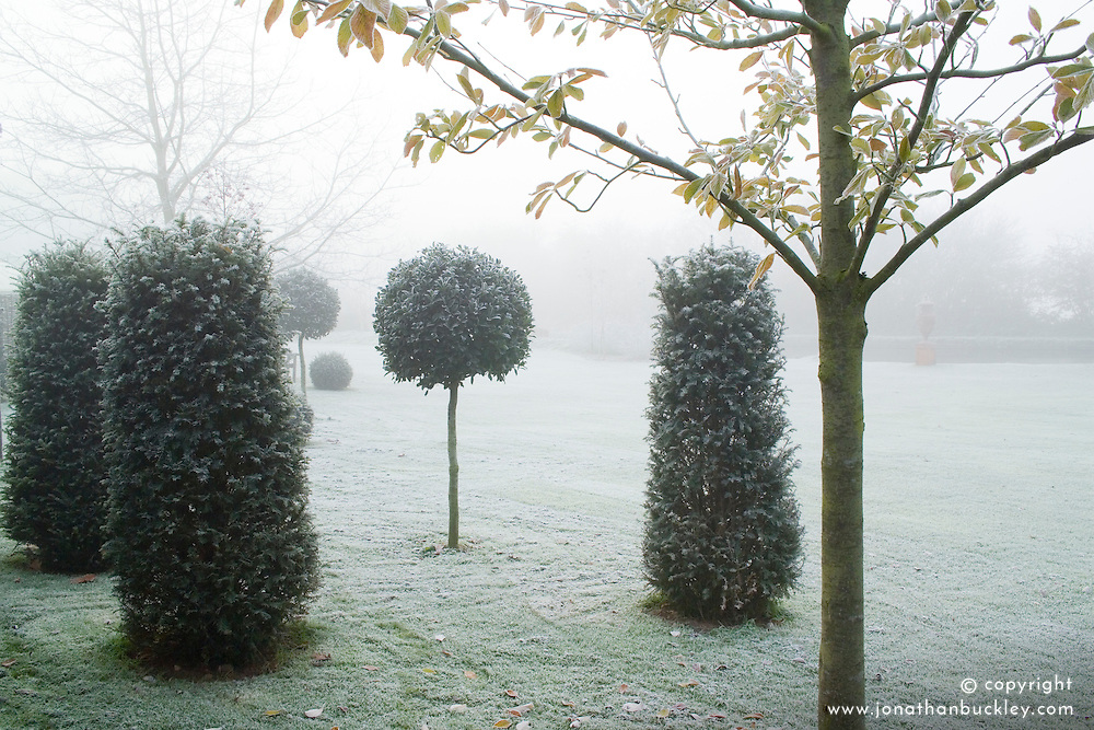 Standard topiary balls of holly - Ilex aquifolium 'Siberia' with pillars of yew ( Taxus baccata ) on a frosty, foggy day in John Massey's garden