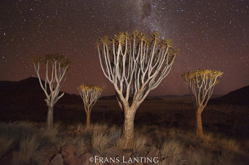 Quiver trees, NamibRand Nature Reserve, Namibia