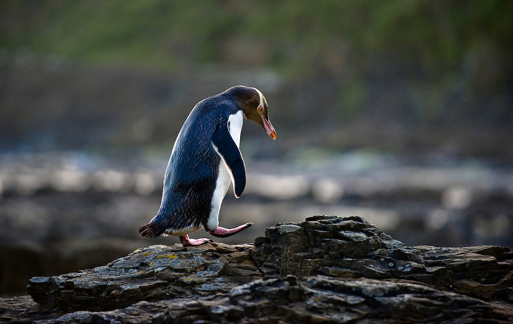 A yellow-eyed penguin returns to its nest after fishing all day in the Catlins, South Island of New Zealand.