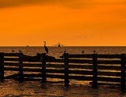 Pelican and blue heron sit on a fence at sunset waiting to start their fishing as another fisherman appears in the background