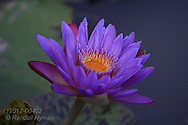 Purple lily flower blossoms in pond at Tower Grove Park in St. Louis, Missouri.