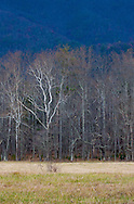 White tree against distant blue mountains, Cades Cove, Great Smoky Mountains National Park